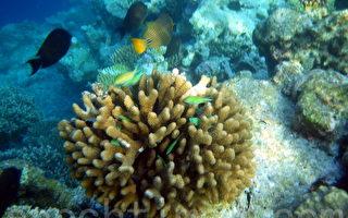 组图:马尔代夫海底世界 热带鱼和珊瑚礁(二)