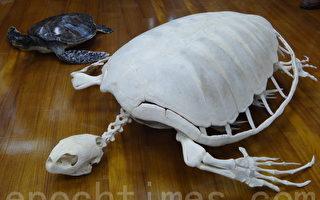 首具绿蠵龟标本 屏科大赠与县府