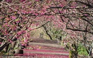 今年櫻花提前綻放,近日正是盛開期。圖為宜蘭大同鄉茶園的美景。(攝影: 詹亦菱 / 大紀元)