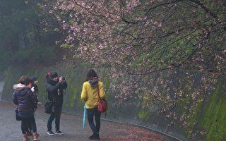 南庄碧絡角櫻花滿山遍野綻放,即便冷颼颼的天候,也阻擋不了賞櫻人捕捉鏡頭。(攝影:許享富/大紀元)