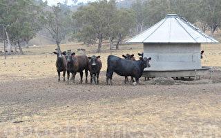 澳養牛業:勿因印尼又虐殺活牛而停止出口