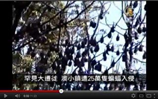 澳洲小鎮遭25萬蝙蝠入侵