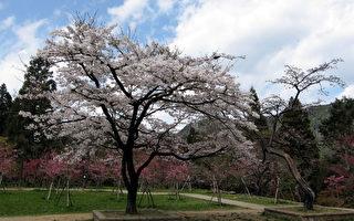 阿里山櫻花季將於15日起登場,花季主角吉野櫻已開始綻放,在林務局阿里山工作站前的「櫻王」9日幾乎完全盛開,整株雪白的花朵令人驚豔。(阿里山工作站提供/中央社)