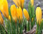 春天的信息 (攝影:吳馨/大紀元)
