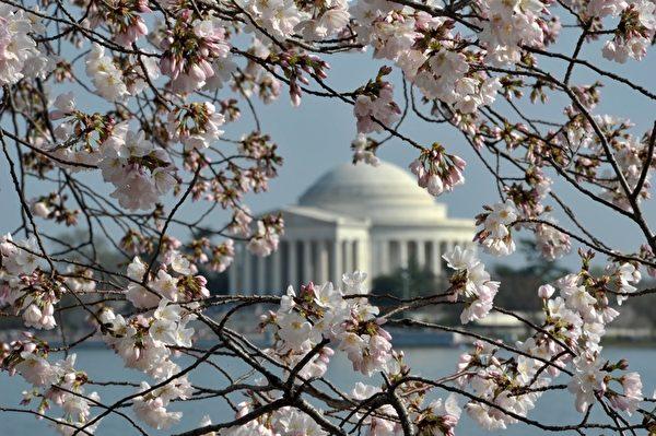 今年春天美国东北部地区的气温比往年略高,使得美国首都华盛顿的潮汐湖畔樱花提前绽放。(MLADEN ANTONOV/AFP)