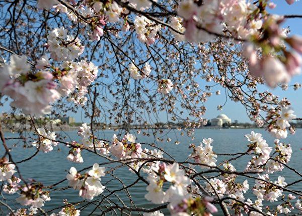2012年3月17日,美国首都华盛顿的潮汐湖畔樱花绽放。(SAUL LOEB/AFP)