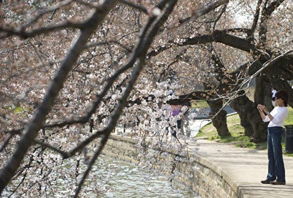 美国华盛顿一年一度的樱花节,吸引大批民众阖家前来观赏。(SAUL LOEB/AFP)
