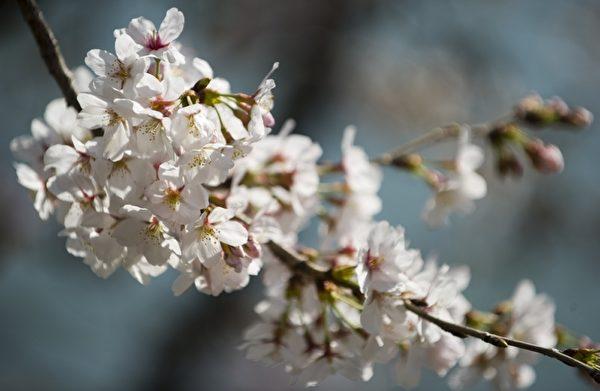 2012年3月15日,美国首都华盛顿的潮汐湖畔樱花绽放。(SAUL LOEB/AFP)