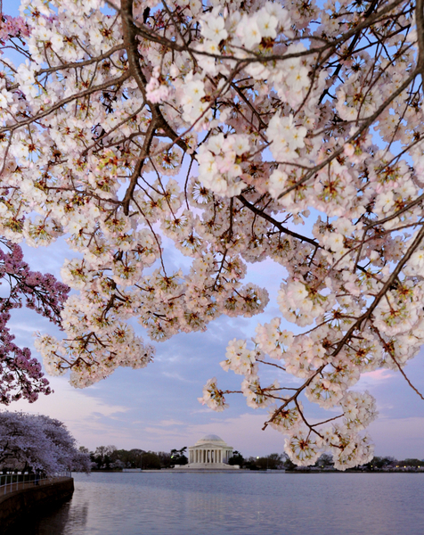 2012年3月19日,美国首都华盛顿的潮汐湖畔樱花绽放。(KAREN BLEIER/AFP)