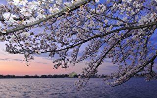 2012年3月19日,美國首都華盛頓的潮汐湖畔櫻花綻放。(KAREN BLEIER/AFP)