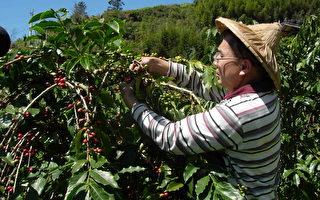 专研高海拔咖啡 SCAA连两年台湾最高分