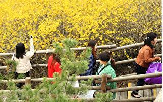 组图:韩国首尔 迎春花盛开