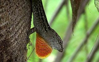 外來種變色蜥入侵  保衛戰開打