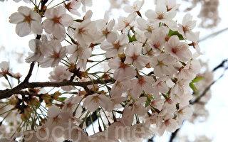 组图:韩国首尔樱花盛开