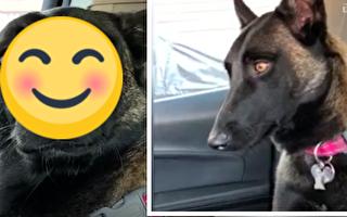 淡定的狗狗听说自己要当姐姐了 瞬间表情超滑稽