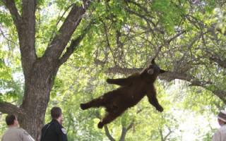 「熊掉下來了!」 台生抓拍 全球媒體搶用
