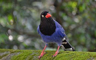 这种鸟春夏季会空袭人类 背后原因超暖心