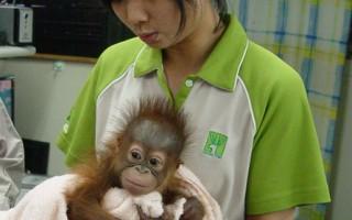 动物园红毛猩猩妞莉  人工哺育