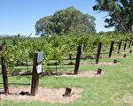 南澳巴罗萨谷的葡萄酒庄园。(摄影:戴宁 / 大纪元)