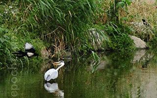 組圖:喜鵲大戰白鷺