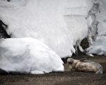 生活在冰天雪地上的南極海豹。(MARTIN BUREAU/AFP/Getty Images)
