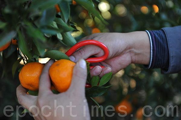 摘橘子时最好用剪刀,橘子保存的时间长(攝影:簡玬/大紀元)