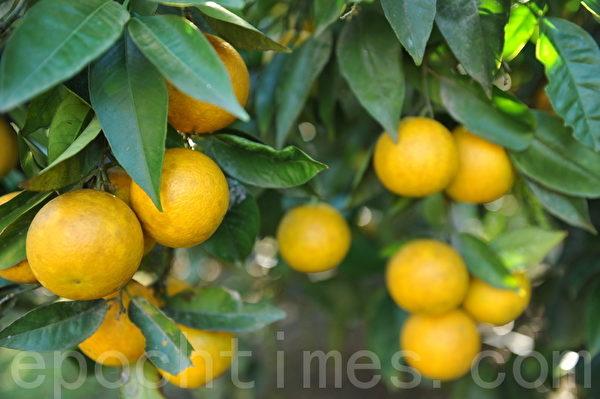 果园里的广柑(Orange)(攝影:簡玬/大紀元)