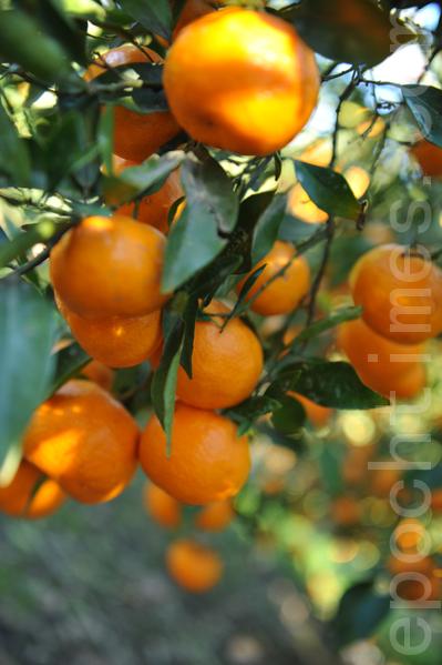 果实累累的橘子(攝影:簡玬/大紀元)