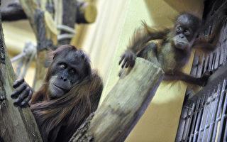 猩猩比人所知得更聪明而且社会化
