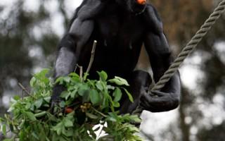 导览人员遭南非黑猩猩拖走啃咬 身受重伤
