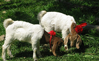 看戲 餵羊 壽山動物園越夜越熱鬧