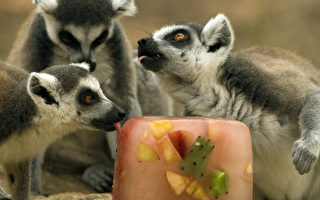 组图:以色列高温炎热 动物吃冰消暑