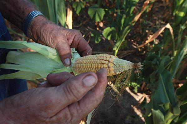 2012年7月16日,美國中西部的乾旱已經影響了玉米和大豆的供應,圖為因乾旱玉米穗不飽滿。(Scott Olson/Getty Images)