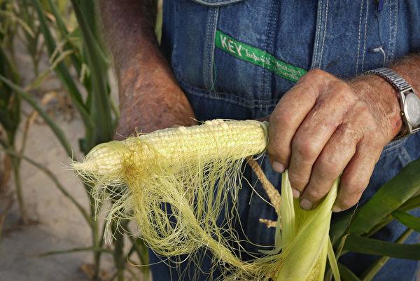 2012年7月16日,美國中西部的乾旱已經影響了玉米和大豆的供應,圖為因乾旱受損的玉米。(Scott Olson/Getty Images)
