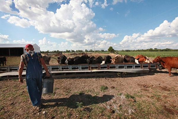 2012年7月16日,美國中西部伊利諾伊州阿什利附近。因遭受旱災的地區乾草和玉米的價格高,許多農民已賣掉他們的牲畜。(Scott Olson/Getty Images)
