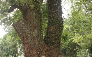 耆老口述歷史   見證集集70年植樹史