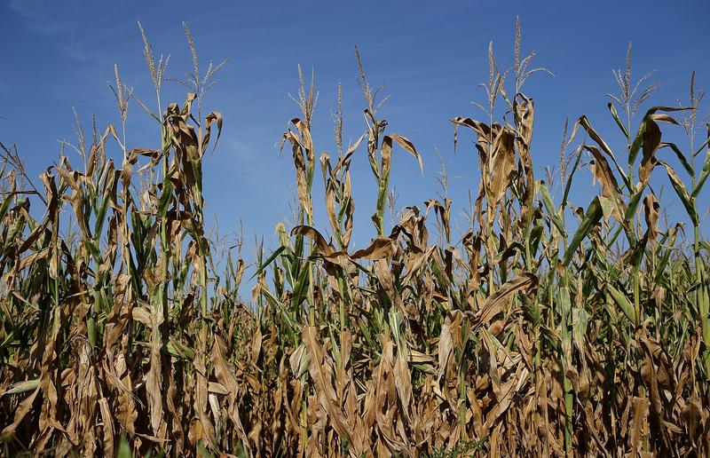 全球多國自保禁糧出口 中共將現糧食危機