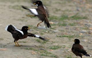 外來鳥類八哥與澳洲本地鳥類「爭奪地盤」