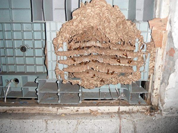 位於高雄鼓山區的一戶民宅屋內五層結構的虎頭蜂蜂巢貼在窗板上。(中華消防分隊提供)