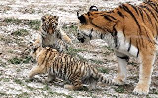 惡性事件!科隆動物園老虎咬死飼養員