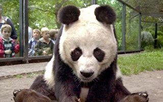 这只熊猫变灵活了 还多了两条腿 咋回事