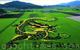 韩国稻田里种出的龙