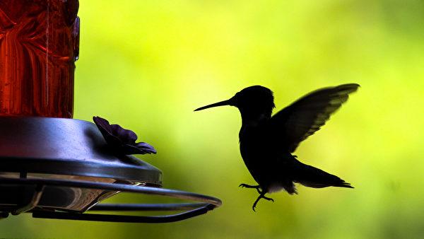 一只红玉喉北蜂鸟来光顾蜂鸟喂食器(陈虎/大纪元)