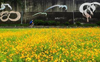 黄波斯菊花海  中秋河滨好赏花