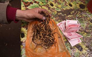 冬虫夏草热导致青藏高原生态危机