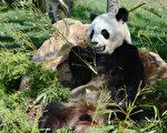 根据《大熊猫的起源》书中揭示了大熊猫鲜为人知的秘密。图为法国Beauval动物园内的中国大熊猫。(ALAIN JOCARD / AFP)