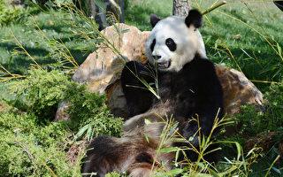 大熊貓與史前人類形影不離