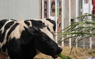 彰化乳牛節  推廣鮮乳標章