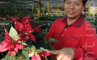 應景聖誕紅  市面逾10熱賣品種