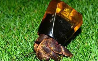 寄居蟹缺寶貝  生態界募貝殼